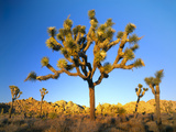 Joshua Tree (Yucca Brevifolia) at Sunset, Mojave Desert, Joshua Tree National Park, California, Usa Photographic Print by Scott T. Smith