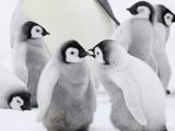 Emperor Penguin (Aptenodytes Forsteri) Chicks on Ice, Snow Hill Island, Antarctica Fotografie-Druck von Keren Su