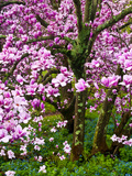 Cherry Blossom Tree in Spring Bloom, Wilmington, Delaware, Usa Photographic Print by Jay O'brien