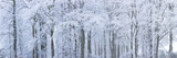 Trees with Snow and Frost, Nr Wotton, Glos, Uk Fotografie-Druck von Peter Adams