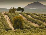 Spain, Andalucia Region, Jaen Province, Jaen-Area, Olive Trees Fotografie-Druck von Walter Bibikow