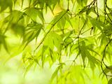 Japanese Maple (Acer) Tree in Springtime, England, UK Fotografisk tryk af Jon Arnold