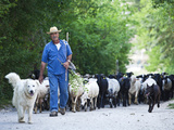 Italy, Umbria, Campi, a Shepherd Bringing His Flock Down from the Hills, with the Help of His Dogs Reproduction photographique par Katie Garrod