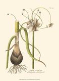 Allium, Pl. 261 Stampe