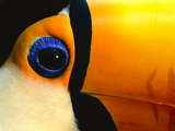 Toco Toucan Face, Pantanal, Brazil Photographic Print by Frans Lanting