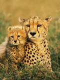 Cheetah and Cub, Masai Mara Reserve, Kenya Stretched Canvas Print by Frans Lanting