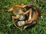 Orphaned Bornean Orangutans, Sepilok Reserve, Sabah, Borneo Fotografisk trykk av Frans Lanting