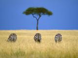 Zebras Grazing, Masai Mara Reserve, Kenya Fotoprint av Frans Lanting