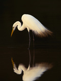 Great Egret in Lagoon, Pantanal, Brazil Photographic Print by Frans Lanting