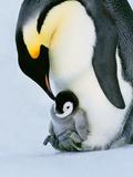 Emperor Penguin with Chick on Feet, Weddell Sea, Antarctica Fotografisk tryk af Frans Lanting