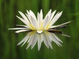Water Lily Blooming, Okavango Delta, Botswana Fotografisk trykk av Frans Lanting