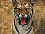 Bengal Tiger Snarling, Western Ghats, India Stampa fotografica di Frans Lanting