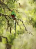 Resplendent Quetzal (Pharomachrus Mocinno), Costa Rica Reproduction photographique par Gregory Basco
