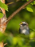 Male White-Throated Sparrow (Zonotrichia Albicollis), New Hampshire, USA Reproduction photographique par John Abbott