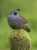 California Quail (Callipepla Californica) Perched on a Mossy Tree Stump in Victoria Reproduction photographique par Glenn Bartley