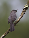 Gray Catbird (Dumetella Carolinensis) Male Vocalizing, Virginia, USA Reproduction photographique par John Abbott