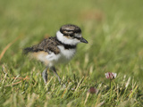 Killdeer Chick (Charadrius Vociferus) in the Grass in Victoria, British Columbia, Canada Reproduction photographique par Glenn Bartley