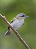 Red-Eyed Vireo (Vireo Olivaceus) Perched on a Branch, Ontario, Canada Reproduction photographique par Glenn Bartley