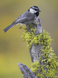 Mountain Chickadee (Poecile Gambeli) Perched on a Branch, Oregon, USA Reproduction photographique par Glenn Bartley