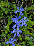 Dwarf Crested Iris (Iris Cristata), Great Smoky Mountains National Park, Tennessee Impressão fotográfica por Gerald & Buff Corsi