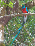 Resplendent Quetzal, Costa Rica Reproduction photographique par Glenn Bartley