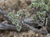 Low Sagebrush (Artemisia Arbuscula), Great Basin National Park, Great Basin Desert, Nevada Impressão fotográfica por Gerald & Buff Corsi
