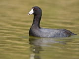 American Coot (Fulica Americana) on a Pond in Victoria, British Columbia, Canada Reproduction photographique par Glenn Bartley