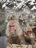 Japanese Macaque or Snow Monkeys (Macaca Fuscata) with Young in a Hot Spring, Jigokudani Park Impressão fotográfica por Gerald & Buff Corsi