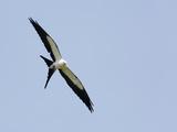 Swallow-Tailed Kite Flying (Elanoides Forficatus) Reproduction photographique par John Cornell