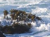 Sea Palms Moving in the Waves, (Postelsia Palmaeformis) Is a Brown Algae, Northern California Coast Impressão fotográfica por Gerald & Buff Corsi