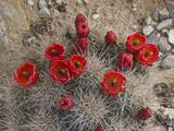 Claret Cup Cactus in Flower (Echinocereus Triglochidiatus Melanacanthus) Impressão fotográfica por Gerald & Buff Corsi