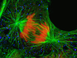 Dividing Cultured Cell in Which the Microtubule-Rich Mitotic Spindle Is Stained Green Photographic Print by Thomas Deerinck
