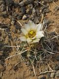 Wright's Fishhook Cactus (Sclerocactus Wrightiae), Capitol Reef National Park, Utah, USA Impressão fotográfica por Gerald & Buff Corsi