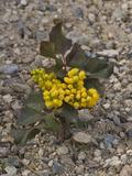 Creeping Oregon Grape (Berberis Aquifolium Repens) Great Basin National Park, Nevada Impressão fotográfica por Gerald & Buff Corsi