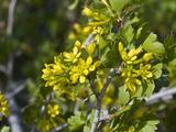 Golden Currant (Ribes Aureum) Snake Creek Valley, Great Basin National Park, Nevada, USA Impressão fotográfica por Gerald & Buff Corsi