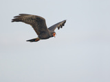 Snail Kite Flying and Vocalizing (Rostrhamus Sociabilis) Reproduction photographique par John Cornell