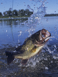 Largemouth Bass Surfacing with a Lure in its Mouth Fotografie-Druck von Wally Eberhart