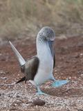 Blue-Footed Booby Courtship Display (Sula Nebouxii), North Seymour, Galapagos Islands, Ecuador Reproduction photographique par Gerald & Buff Corsi