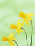 Daffodil Flowers (Narcissus Cyclamineus), Jetfire Variety Photographic Print by Wally Eberhart