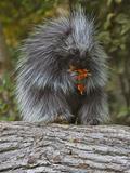 Porcupine (Erethizon Dorsatum) Eating Berries Impressão fotográfica por Gerald & Buff Corsi