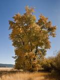 Black Cottonwood or Balsam Poplar in Autumn Color (Populus Balsamifera Trichocarpa), Chester Impressão fotográfica por Gerald & Buff Corsi