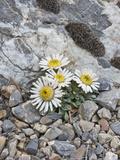 Ground or Tufted Townsend Daisy (Townsendia Scapigera) Impressão fotográfica por Gerald & Buff Corsi