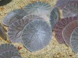Sand Dollars in the Sandy Ocean Floor (Dendraster Excentricus), California, USA Impressão fotográfica por Gerald & Buff Corsi