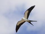Swallow-Tailed Kite (Elanoides Forficatus) in Flight Reproduction photographique par John Cornell