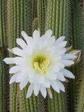 Torch Cactus (Trichocereus Spachianus), Argentina Impressão fotográfica por Gerald & Buff Corsi