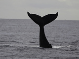 A Humpback Whale (Megaptera Novaeangliae) Fotografisk trykk av David Fleetham