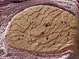 Cross-Section of Skeletal or Striated Muscle Surrounded by Connective Tissue Sheath Photographic Print by Richard Kessel