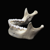 The Human Lower Jaw Bone or Mandible Is the Largest and Strongest Bone in the Face Photographic Print by Ralph Hutchings