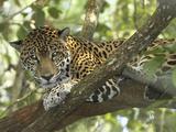 Jaguar in a Tree (Panthera Onca), Belize Impressão fotográfica por Thomas Marent