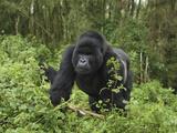 Silverback Mountain Gorilla Walking (Gorilla Beringei Beringei), Volcanoes National Park, Rwanda Fotografisk tryk af Thomas Marent